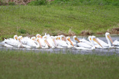 American White Pelicans Stock Photos