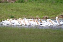 American White Pelicans Stock Photos