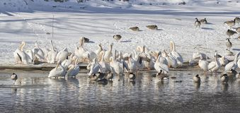 American White Pelicans. Flock of American White Pelicans on snow Stock Photo