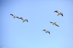 5 American White Pelicans Flying Royalty Free Stock Images