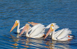 American White Pelicans Royalty Free Stock Photo