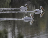 American White Pelicans. Paying a brief, migratory visit to a riparian preserve in Arizona Royalty Free Stock Photo