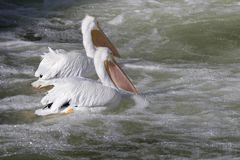 American White Pelicans Pelecanus erythrorhynchos. Fishing in white water near Saylorville Dam, Iowa Stock Images