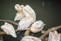 American white pelicans, Pelecanus erythrorhynchos, a large aquatic soaring bird. Close up royalty free stock photos