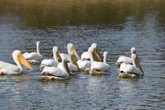 American White Pelicans Swimming at lake Royalty Free Stock Image