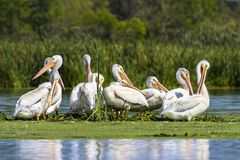 American white pelican in small island in lake.Wisconsin wild refugee stock photos