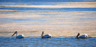American White Pelicans (Pelecanus erythrorhynchos) wading in mossy bay Stock Images
