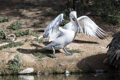 American White Pelicans. American White Pelican praxticing his ballet steps; www.grayfoxxpixx.com; Carol Gray Royalty Free Stock Images