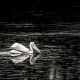 American White Pelicans on Pond 1 Royalty Free Stock Image