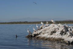 American White pelicans resting. American white pelicans on rocks at the Salton sea Stock Image