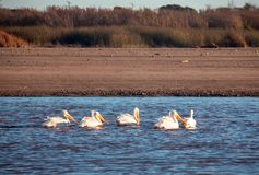 American White Pelicans in the Santa Clara river at McGrath State Park on the Pacific coast at Ventura California USA. American White Pelicans in the Santa Clara royalty free stock photo