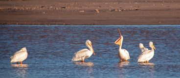 American White Pelican opening his throat pouch in the Santa Clara river at Ventura California USA. American White Pelican opening his throat pouch in the Santa royalty free stock photos