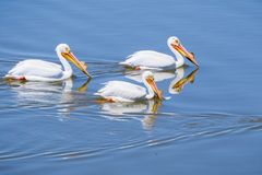 American white pelicans, Shoreline Park, Mountain View, California royalty free stock image