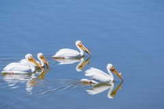 American white pelicans, Shoreline Park, Mountain View, California royalty free stock images