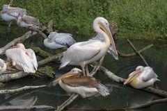American white pelicans sleeping on the branches in a group. Pelecanus erythrorhynchos. Close up royalty free stock photo