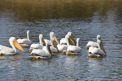 American White Pelicans Swimming At Lake Royalty Free Stock Image