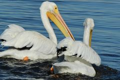 American white pelicans swimming close up. Two beautiful Royalty Free Stock Photos