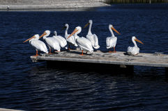 American White Pelicans Royalty Free Stock Images