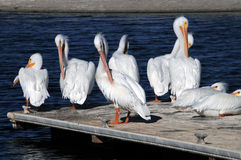 American White Pelicans Stock Images
