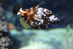 American white-spotted filefish. Floating in water Stock Image