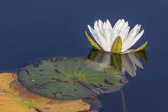American White Water Lily blooming on a lake - Ontario, Canada. American White Water Lily Nymphaea odorata blooming on a lake in Ontario, Canada Stock Images