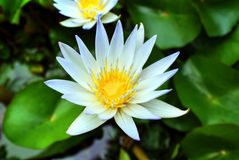 American white water lily, Nymphaea odorata Royalty Free Stock Image