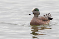 American Widgeon Drake Royalty Free Stock Photography