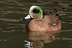 American Widgeon Drake On Water. An American Widgeon drake floating on the water of a New Mexico pond Royalty Free Stock Photo
