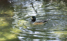 American Widgeon Duck Stock Photo