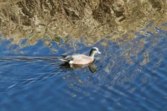 American widgeon duck swimming in a pond. On a sunny day Royalty Free Stock Photography