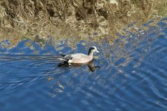 American widgeon duck swimming in a pond. An american widgeon swimming by on a sunny day Royalty Free Stock Photo