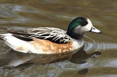 American Widgeon Stock Photo