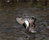 American Wigeon Stock Photo
