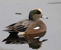 American Wigeon. Duck in pond in Boise, Idaho Royalty Free Stock Photography