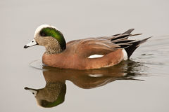 American Wigeon. Male American Wigeon Swimming in Calm Water with Reflection Royalty Free Stock Images