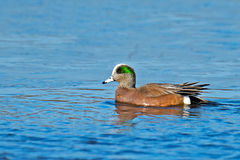 American Wigeon. A Male American Wigeon Floating in the bay Royalty Free Stock Photography