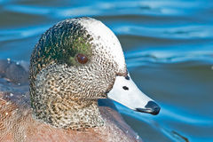 American Wigeon. Close up of a Male American Wigeon Royalty Free Stock Images