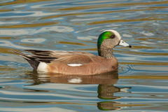 American Wigeon. Adult Male American Wigeon Swimming in Pond Royalty Free Stock Photo
