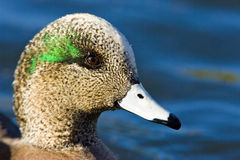 American Wigeon royalty free stock photos