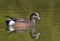 American Wigeon, Anas americana with colorful reflections. An American Wigeon, Anas americana with colorful reflections Royalty Free Stock Images