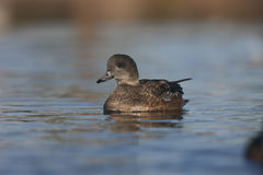 American wigeon, Anas americana Royalty Free Stock Image