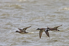American Wigeon, Anas americana in flight Stock Photography