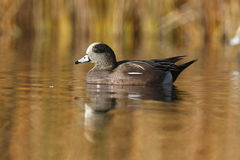 American wigeon, Anas americana Royalty Free Stock Photos