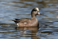 American wigeon, Anas americana Royalty Free Stock Images