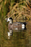 American wigeon, Anas americana Stock Images