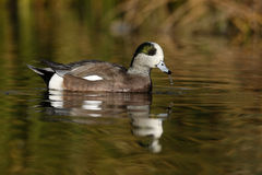 American wigeon, Anas americana Royalty Free Stock Photography