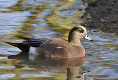 American Wigeon Stock Images