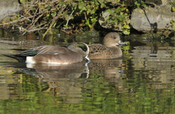 American Wigeon Stock Photos