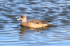 American Wigeon (Anas americana) Royalty Free Stock Images