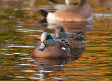 American Wigeon. A beautiful male American Wigeon leads its mate across a pond reflecting the golden brilliance of autumn trees Stock Image